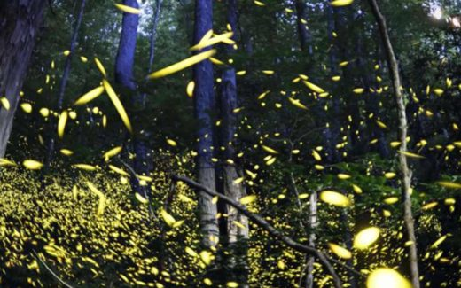 Fireflies in the Great Smoky Mountains