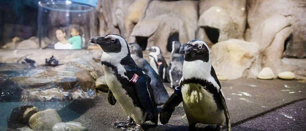 Ripley's Aquarium African Penguins