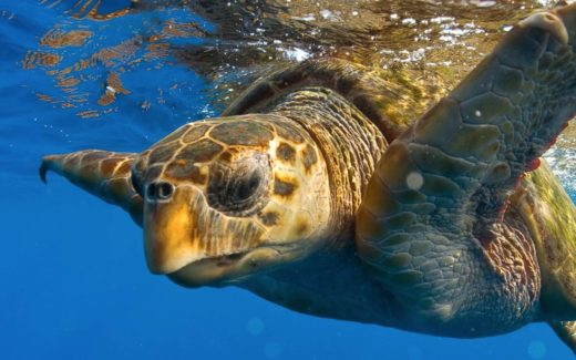 Myrtle Beach Sea Turtle
