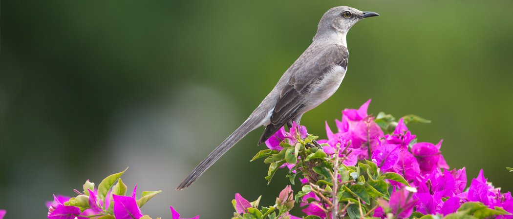 Tennessee State Bird Mockingbird